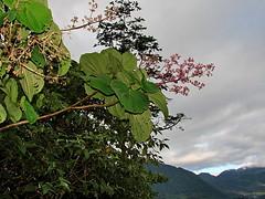 2012-07-08 15-04-23 - DSC00872 (Hesperia2007) Tags: pink plant flower leaf flora botany papuanewguinea habitat tropics oceania melastomataceae