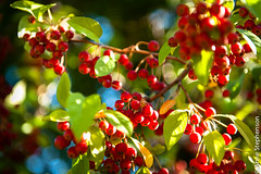 Fruits of the Season (Anne Stephenson) Tags: autumn red usa tree green fall horizontal fruit utah bush berry harvest lush bounty fruitful
