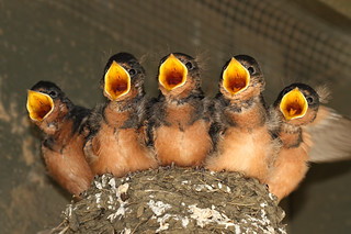 Five hungry Barn Swallows