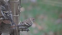 Pine Siskin (Rick Wright, Victor Emanuel Nature Tours) Tags: newjersey october finches pinesiskin goldfinches fringillidae spinus siskins fringillids