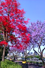 Flame Tree & Jacaranda (Likeanowl) Tags: tree spring brisbane flame jacaranda milton
