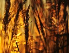 _DSC0804 - AUTUMN in CAMARGUE - (ipon1) Tags: sunset reed canal nikon lumire ngc marais reflets roseaux mfcc etangs suddelafrance camarguefrance
