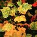Tulipier de Virginie : automne détail.  _PA200520+