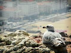 Nazar -Portugal (lucascobos) Tags: life travel bird portugal animal animals landscape explorer natureza paisagem explore animalia nazar naturelife natgeohub