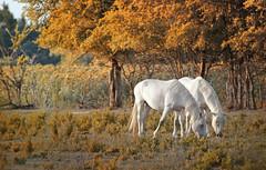 cena di coppia (invitojazz) Tags: autumn horses white france nikon provence autunno francia cavalli bianchi provenza camargue d90 infrarossi invitojazz vitopaladini