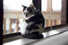 SMEE (peculiarnothings) Tags: window cat fur kitten sill indoors smee cattin