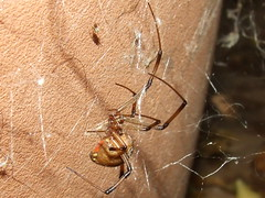Theridiidae>Latrodectus geometricus Female Brown Widow spider FemaleDSCF1586 (Bill & Mark Bell) Tags: exmouth westernaustralia australia geo:town=exmouth geo:state=westernaustralia geo:country=australia geo:lon=11425453egeolat2217752sgeoalt8m 11425453e2217752salt8m taxonomy:kingdom=animalia animalia taxonomy:phylum=arthropoda arthropoda taxonomy:class=arachnida arachnida taxonomy:order=araneae araneae taxonomy:family=theridiidae theridiidae taxonomy:genus=latrodectus latrodectus geometricus taxonomybinomialnamelatrodectusgeometricus latrodectusgeometricus taxonomycommonnamebrownwidowspider brownwidowspider spider