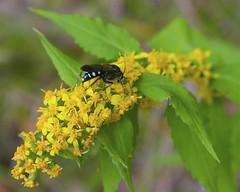 Sand Wasp on Blue-stemmed Goldenrod (milesizz) Tags: wisconsin milwaukee wi apoidea sandwasp crabronidae bicyrtes sandwasps bembicinae apoidwasps bicyrtesventralis bembicini sphecida bembicina