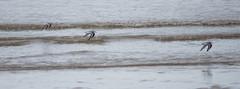 Sanderling flying in Formation (Rovers number 9) Tags: uk autumn england nature water birds minolta wildlife sony lancashire blackpool 2012 sanderling a65 minoltaaf100200f45 sonya65