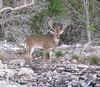 Texas Whitetail Hunt & Exotics - Kerrville 10