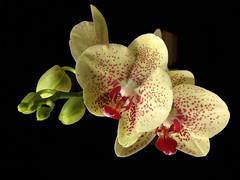 orchid.....phalanoepis (quarzonero ...Aldo A...) Tags: orchid phalanoepis nature flower with bej blinkagain coth alittlebeauty coth5
