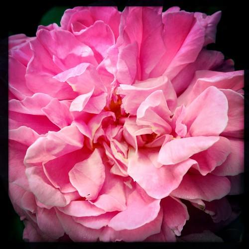 Love my garden #rose #davidausten #spring