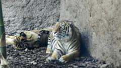Tigre de Sumatra Zoo Bioparc Fuengirola Malaga 05 (Rafael Gomez - http://micamara.es) Tags: tigre de sumatra sudeste asiatico bioparc en fuengirola málaga andalucia zoológico y centro la naturaleza malaga zoo nature center animales animals tigres tigers españa spain