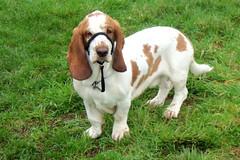 Ernie (billnbenj) Tags: dog cumbria bassethound barrow