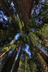Muir Woods (fksr) Tags: tree marincounty redwood muirwoodsnationalmonument