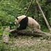 Giant Panda playing on a tree