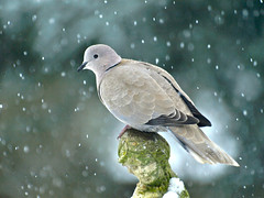 Collared Dove (Flynnspics) Tags: winter snow nature birds dove