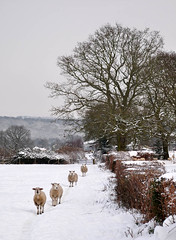 Sheep in the fields (geoffspages) Tags: winter snow landscape geotagged shropshire sheep geo:lat=52618070812113146 geo:lon=24956881999969482