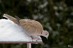 Streptopelia decaocto (-LdB Photography-) Tags: winter snow bird canon eos 7d 70200mm duif eurasiancollareddove streptopeliadecaocto turksetortel