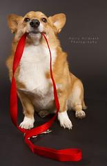 Let's go! (hhildrethphoto) Tags: columbus ohio usa dog pets dogs animals portraits puppy studio pembroke costume corgi funny humorous walk stoli welsh leash collar begging props stolichnaya columus hollyhildrethphotography highqualitydogs highqualityanimals