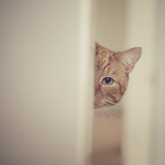Mr Spy (Morphicx) Tags: door pet eye animal cat spy ear peeking sneaky redcat