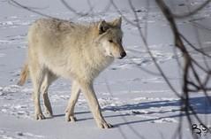 Chubby Puppy (Fiat Lupi) Tags: winter blackandwhite monochrome animals wolf wildlife canine predator carnivore