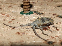 Cerambycidae>Lamiinae Platyomopsis Flat-Faced Longicorn beetle DSCF3750 (Bill & Mark Bell) Tags: exmouth westernaustralia australia geo:town=exmouth geo:state=westernaustralia geo:country=australia geo:lon=11425453egeolat2217752sgeoalt8m 11425453e2217752salt8m taxonomy:kingdom=animalia animalia taxonomy:phylum=arthropoda arthropoda taxonomy:class=insecta insecta taxonomy:order=coleoptera coleoptera taxonomy:family=cerambycidae cerambycidae taxonomy:subfamily=lamiinae lamiinae taxonomy:genus=platyomopsis platyomopsis taxonomycommonnameflatfacedlongicornbeetle flatfacedlongicornbeetle animal fauna beetle