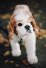 dogscapes, part three (manyfires) Tags: portrait dog pet film animal analog 35mm furry bokeh canine nikonf100 sidewalk pooch cavalierkingcharlesspaniel lakeoswego animalscape