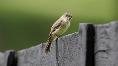 Eastern Phoebe by Steve Gifford (Steve Gifford - IN) Tags: eastern phoebe montgomery co county oh ohio steve steven gifford oxford picture photo photograph nature wildlife bird birds
