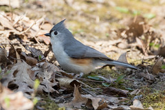 Tufted Titmouse (Jeremy Meyer) Tags: tuftedtitmouse tufted titmouse bird chickadee nature