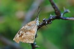 American Snout (RawtsnPhoto) Tags: rawtsnphoto butterfly butterflies snout americansnout insect arizona