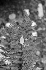 leaves (brenkee) Tags: fern leaves leaf blackandwhite monochrome film analog canon fd av1 50mm 14 ilford pan 400 expired lc29 self developed macro dof bokeh bokehlicious