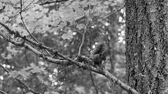 Cougar Mountain Hike -  02 (Thor Hanks) Tags: cougarmountain hike hiking trees washington plants squirel animal blackandwhite bw