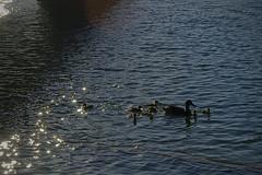 Solo......siluetas....y......luz..... (pp diaz) Tags: sur luz siluetas aves patos costaballena rota cdiz andaluca espaa