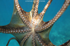 IMG_0104 copy (Aaron Lynton) Tags: lyntonproductions tako honu turtle hawaii maui underwater canon g1x spotted eagle ray octopus sea star