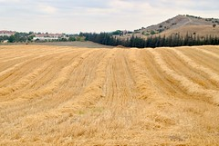 harvested (Ian Riley [on the right side of the fence]) Tags: asia turkey eskiehir research station field harvested wheat windrows