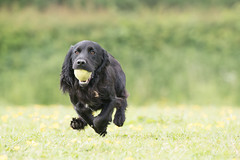 Dog Photography by Gerry Slade-1310 (Photography By Gerry Slade) Tags: dogphotographer gerryslade wwwgerrysladecouk cocker spaniel