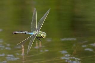 Emperor Dragonfly (f) 03 Licolnshire 18-08-16 Ian W