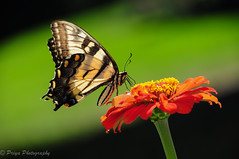 Swallowtail Butterfly on Red Zinnia (priyasharma24) Tags: butterfly zinnia flower swallowtail red nature green dof depthoffield newyork orange yellow outdoor serene insect bright pattern texture tiny