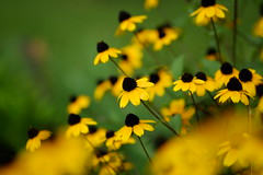 (Minami45) Tags: xpro1 fujifilm rudbeckiatriloba rudbeckia yellow japan tokyo       flower bokeh  xf60mm