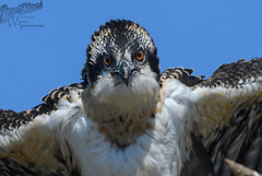 Late fledge Juvi Osprey 8_23 1 (krisinct- Thanks for 12 Million views!) Tags: nikon d500 500 f4 vrg