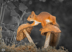 mushroom walk (Geert Weggen) Tags: mammal rodent squirrel nature animal red perennial closeup cute plant moss funny happy ground spring bright light autumn mushroom toadstool fall geert weggen ilobsterit