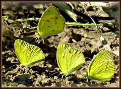 Cluster of Yellow Butterflies (Suzanham) Tags: butterflies butterfly nature yellowbutterfly commongrassyellowbutterfly noxubeewildliferefuge mississippi bug insect wildlife