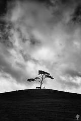 The Wishing Tree... (fearghal breathnach) Tags: lonetree cows blackwhite blackandwhite mono monochrome landscape treeonahill bigsky clouds hill shadows silhouette telephoto telephotolandscape ef70200mmf28lisusm canon canoneos5dmarkiii