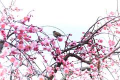 Sparrow & Plums (lilacandhoney) Tags: hiroshima japan japon asia asian moment memory sparrow bird beauty nature plum flowers flower natural blossom moments travel journey asie french printemps hiver winter spring light garden park landscape canon colors colour eos 70d
