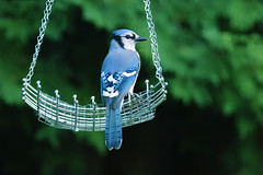 Skies Are Blue (Rosemary Danielis) Tags: birds bluejay animals nature outdoors blue