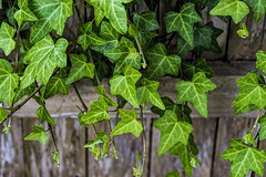 Ivy on the Fence (WilliamND4) Tags: fencefriday hff ivy plant green fence wood nikon d610