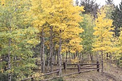 Aspen Quaking in the wind (In & Out Photography) Tags: fallcolorsatpingreepark co pingree aspen colorado colors color colorlandscape