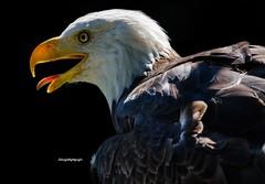 Weikopfseeadler (Sakerfalke) Tags: sakerfalkefotografie weiskopfseeadler birds greifvogel outdoor