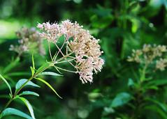 Prairie pinks - HBW! (RPahre) Tags: wildflowers indianadunesnationallakeshore indiana bokeh hbw mnookeprairie prairie